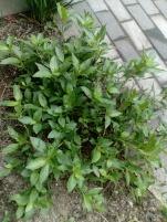 藍の生葉を摘んで